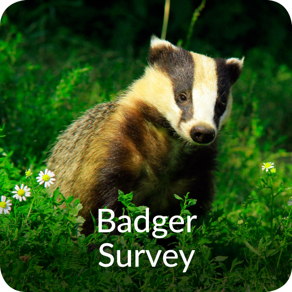 Badger Survey Orbis Ecology Devon