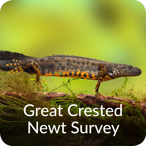 Great Crested Newt Survey Orbis Ecology Devon
