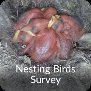 Nesting birds Survey Orbis Ecology Devon