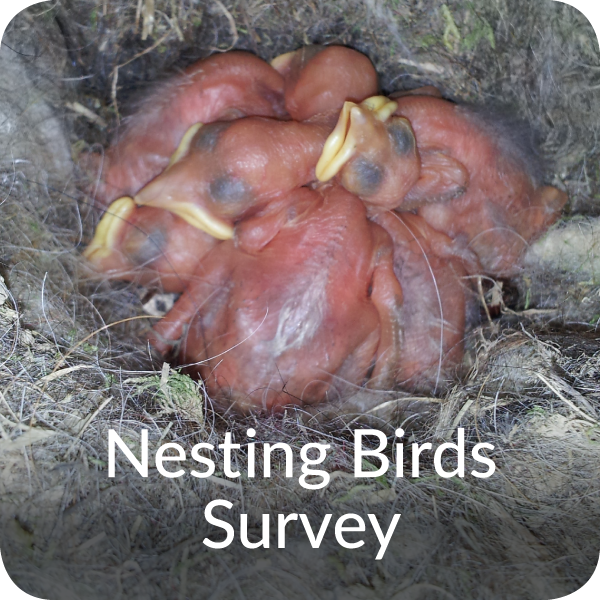Nesting birds Survey Orbis Ecology Devon