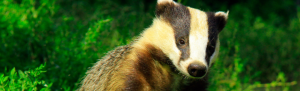 Orbis ecology Exeter Badger Survey feature image