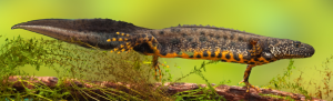 Orbis ecology Exeter Great Crested Newt Survey feature image
