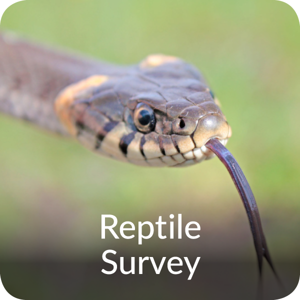Reptile Survey Orbis Ecology Devon
