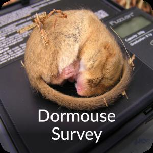 Dormouse Survey Orbis Ecology Devon