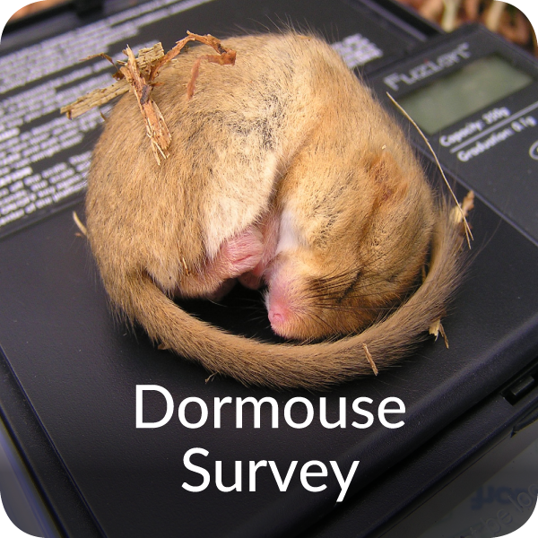 Dormouse Survey Orbis Ecology Devon