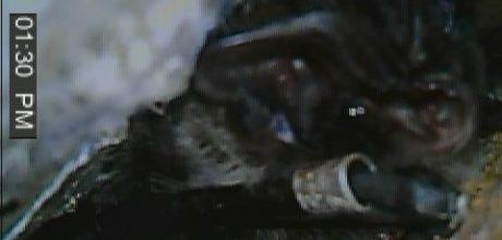 Rare barbastelle bats found